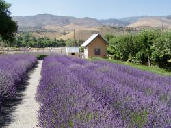 Fields at Lavender Ridge Farm, Reno