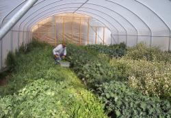 Hoophouse farming extends the growing season.