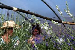 WNC Specialty Crop Institute Offers Lavender Production Workshop