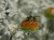 Honey Bees are critical native pollinators